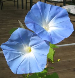 Heavenly_blue_morning_glory_3